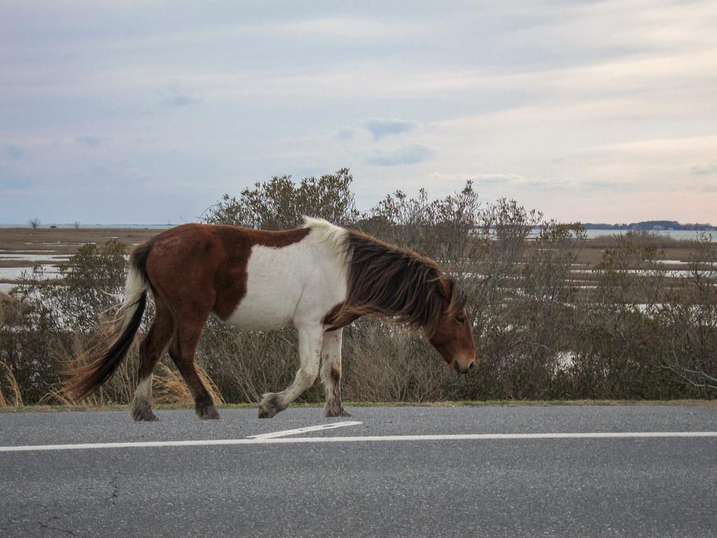 Wild ponies at Assateague