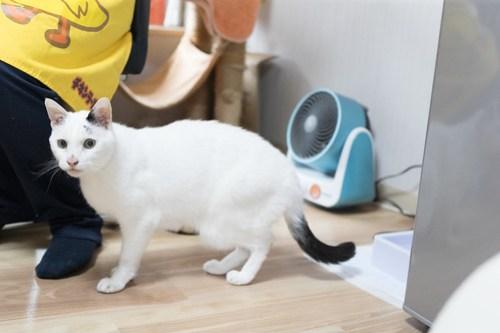 アトリエイエネコ Cat Photographer 40841677621_5ea964570a 1日1猫! 3/10オープン!保護猫カフェけやきさんへ行く(3/3) 1日1猫!  高槻ねこのおうち 里親様募集中 猫写真 猫カフェ 猫 子猫 大阪 初心者 写真 保護猫カフェけやき 保護猫カフェ 保護猫 スマホ カメラ Kitten Cute cat