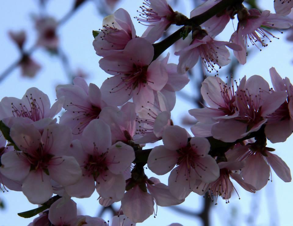 Blooming almond trees in Badamwari