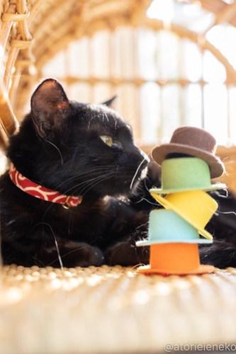 アトリエイエネコ Cat Photographer 39816153730_e261505af0 1日1猫!高槻ねこのおうち あきちゃん♪ 1日1猫!  高槻ねこのおうち 里親様募集中 猫写真 猫 子猫 大阪 写真 保護猫 スマホ カメラ Kitten Cute cat