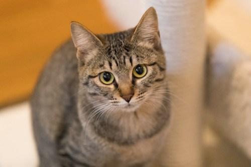 アトリエイエネコ Cat Photographer 40261595874_920ee78583 1日1猫!保護猫カフェみーちゃ・みーちょ その1 未分類  里親様募集中 猫写真 猫 子猫 大阪 初心者 写真 保護猫カフェ 保護猫 カメラ みーちゃ・みーちょ Kitten Cute cat