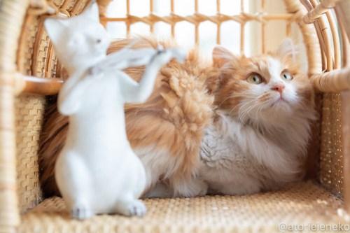 アトリエイエネコ Cat Photographer 41583767322_08a266fd51 1日1猫!高槻ねこのおうち 里親樣募集中のホイップちゃん♪ 1日1猫!  高槻ねこのおうち 里親様募集中 猫写真 猫 子猫 大阪 写真 保護猫 スマホ カメラ Kitten Cute cat