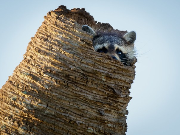Hiding Raccoon