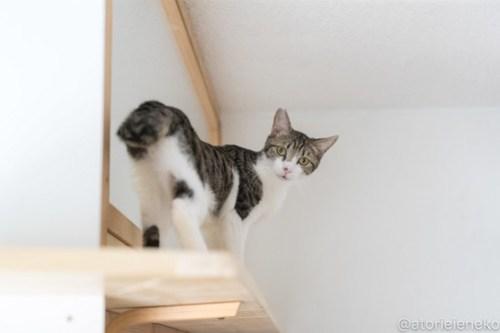 アトリエイエネコ Cat Photographer 26066617317_27295ca00e 1日1猫!高槻ねこのおうち 長太郎♪ 1日1猫!  高槻ねこのおうち 里親様募集中 猫写真 猫 子猫 大阪 初心者 写真 保護猫 スマホ カメラ Kitten Cute cat