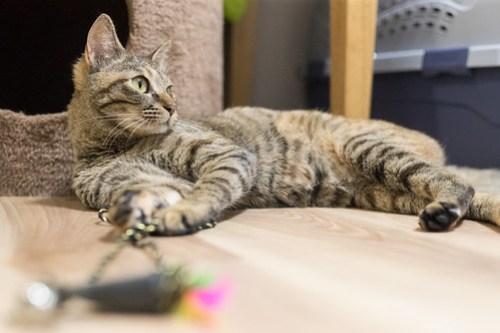 アトリエイエネコ Cat Photographer 39947679265_853bcbbfc7 1日1猫! 3/10オープン!保護猫カフェけやきさんへ行く(1/3) 1日1猫!  高槻ねこのおうち 里親様募集中 猫写真 猫カフェ 猫 子猫 大阪 初心者 写真 保護猫カフェけやき 保護猫カフェ 保護猫 スマホ カメラ けやき Kitten Cute cat