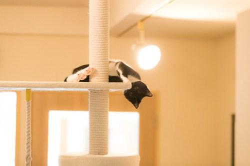アトリエイエネコ Cat Photographer 40261747794_0b32bb0aac 1日1猫!保護猫カフェみーちゃ・みーちょ その3 1日1猫!  里親様募集中 猫写真 猫 子猫 大阪 初心者 写真 保護猫カフェ 保護猫 ハチワレ カメラ みーちゃ・みーちょ Kitten Cute cat