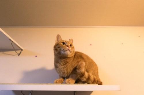 アトリエイエネコ Cat Photographer 26099130527_93738f0d62 1日1猫!保護猫カフェみーちゃ・みーちょ その1 未分類  里親様募集中 猫写真 猫 子猫 大阪 初心者 写真 保護猫カフェ 保護猫 カメラ みーちゃ・みーちょ Kitten Cute cat