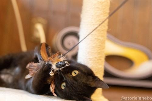 アトリエイエネコ Cat Photographer 40536136115_2883655494 1日1猫!CaraCatCafe 里親様募集中のレイラちゃん♪ 1日1猫!  黒猫 里親様募集中 箕面 猫写真 猫 子猫 大阪 初心者 写真 保護猫カフェ 保護猫 スマホ カメラ Kitten Cute cat caracatcafe