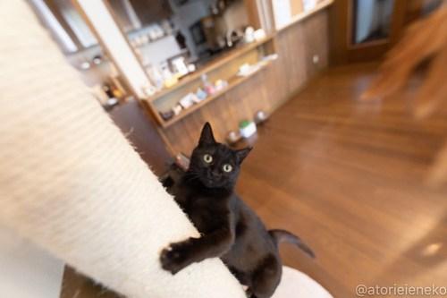 アトリエイエネコ Cat Photographer 26560001167_0158b53f1f 1日1猫!CaraCatCafe 里親様募集中のレイラちゃん♪ 1日1猫!  黒猫 里親様募集中 箕面 猫写真 猫 子猫 大阪 初心者 写真 保護猫カフェ 保護猫 スマホ カメラ Kitten Cute cat caracatcafe