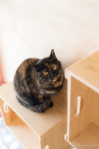 アトリエイエネコ Cat Photographer 27132162418_46bb3a9067 1日1猫!ニャンとぴあ みかんちゃんのトライアルが決まりました♪ 1日1猫!  里親様募集中 猫写真 猫カフェ 猫 子猫 写真 保護猫カフェ 保護猫 ニャンとぴあ スマホ サビ猫 サクラ猫 カメラ おおさかねこ倶楽部 Kitten Cute cat