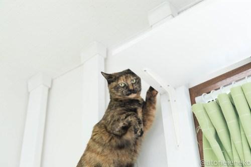 アトリエイエネコ Cat Photographer 26003741687_1be04bdfca 1日1猫!保護猫カフェねこんチ新スタッフみいちゃん♪ 1日1猫!  里親様募集中 猫写真 猫 子猫 大阪 初心者 写真 保護猫カフェねこんチ 保護猫カフェ 保護猫 スマホ カメラ Kitten Cute cat