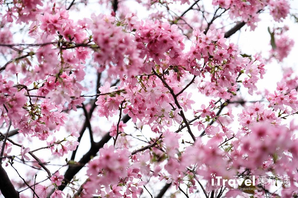 土城赏樱景点 希望之河左岸樱花 (12)