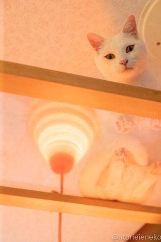 アトリエイエネコ Cat Photographer 39803390030_332e19a9fe 1日1猫!小さな猫カフェ「ペルちゃん」に行ってきた その2♪ 1日1猫!  里親様募集中 猫写真 猫 子猫 大阪 写真 保護猫カフェ 保護猫 カメラ Kitten Cute cat