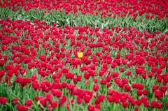 Skagit Valley Tulips-74