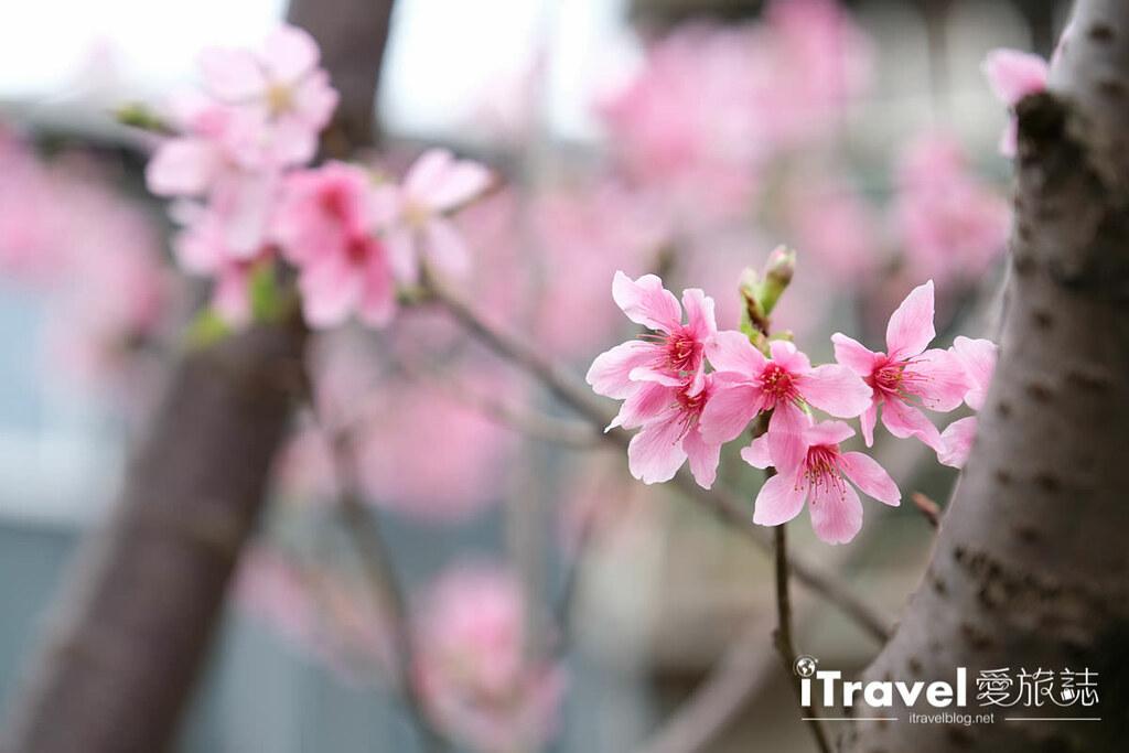 土城赏樱景点 希望之河左岸樱花 (14)
