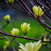 Bright yellow tulip magnolia flowering branch