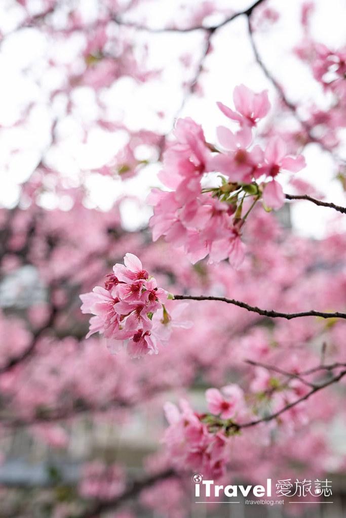 土城赏樱景点 希望之河左岸樱花 (18)