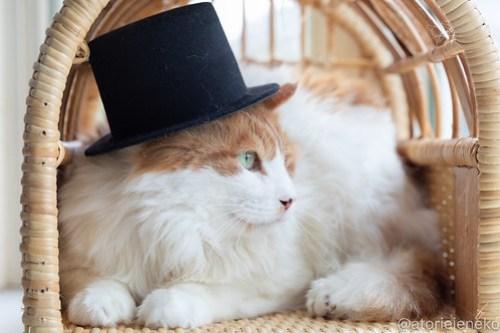 アトリエイエネコ Cat Photographer 41583752652_f2b5184387 1日1猫!高槻ねこのおうち 里親樣募集中のゴージャスフサオくん♪ 1日1猫!  高槻ねこのおうち 里親様募集中 猫写真 猫 子猫 大阪 写真 保護猫 スマホ カメラ Kitten Cute cat