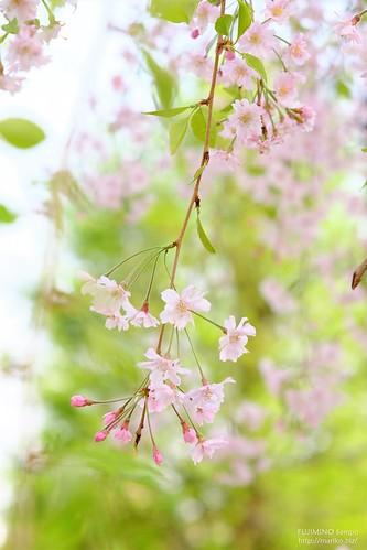 枝垂れ桜 20180402-DSCT9235 (2)