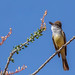 Ash-throated Flycatcher perched on Ocotillo