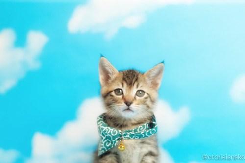 アトリエイエネコ Cat Photographer 41824865002_692fcf405b 1日1猫!おおさかねこ倶楽部 里親様募集中のはたくん&タイくん&カツオくん♪ 1日1猫!  里親様募集中 猫写真 猫カフェ 猫 子猫 大阪 初心者 写真 保護猫カフェ 保護猫 ニャンとぴあ カメラ おおさかねこ倶楽部 Kitten Cute cat