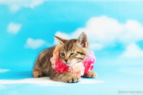 アトリエイエネコ Cat Photographer 41867875221_c690bc5db7 1日1猫!ニャンとぴあキャッツ 里親様募集中のあゆちゃん♪ 1日1猫!  里親様募集中 猫写真 猫カフェ 猫 子猫 大阪 初心者 写真 保護猫カフェ 保護猫 ニャンとぴあ スマホ キジ猫 カメラ おおさかねこ倶楽部 Kitten Cute cat