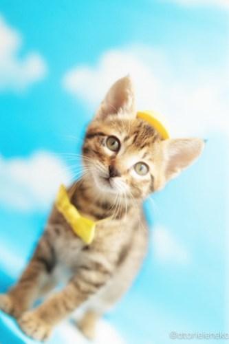 アトリエイエネコ Cat Photographer 40060612910_c2baf63dbe 1日1猫!ニャンとぴあキャッツ 里親様募集中のタイくん♪ 1日1猫!  里親様募集中 猫写真 猫カフェ 猫 子猫 大阪 初心者 写真 保護猫カフェ 保護猫 ニャンとぴあ スマホ キジ猫 カメラ おおさかねこ倶楽部 Kitten Cute cat