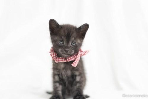 アトリエイエネコ Cat Photographer 41234417354_2531ae6111 1日1猫!高槻ねこのおうち さつきちゃん♪ 1日1猫!  黒猫 高槻ねこのおうち 里親様募集中 譲渡会 猫写真 猫 子猫 大阪 初心者 写真 保護猫 カメラ Kitten Cute cat