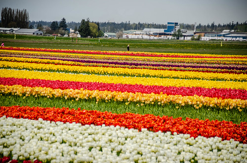 Skagit Valley Tulips-40