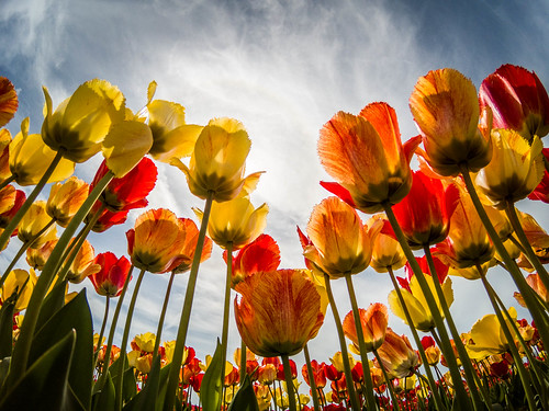 Skagit Valley Tulips-24