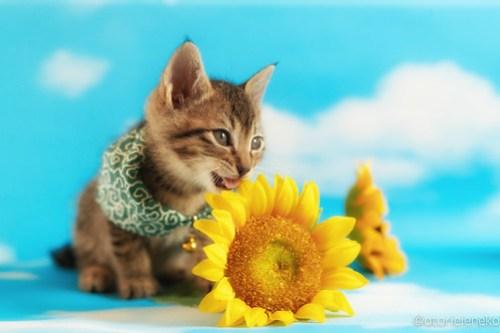 アトリエイエネコ Cat Photographer 40969249665_2be1fd5dc4 1日1猫!ニャンとぴあキャッツ 里親様募集中のカツオくん♪ 1日1猫!  里親様募集中 猫写真 猫 子猫 大阪 写真 保護猫カフェ 保護猫 ニャンとぴあ スマホ キジ猫 カメラ おおさかねこ倶楽部 Kitten Cute cat