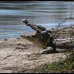 Croc at Lake Panic