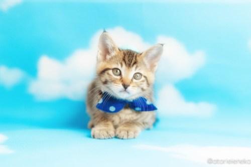 アトリエイエネコ Cat Photographer 26999685367_a23440206c 1日1猫!おおさかねこ倶楽部 里親様募集中のはたくん&タイくん&カツオくん♪ 1日1猫!  里親様募集中 猫写真 猫カフェ 猫 子猫 大阪 初心者 写真 保護猫カフェ 保護猫 ニャンとぴあ カメラ おおさかねこ倶楽部 Kitten Cute cat