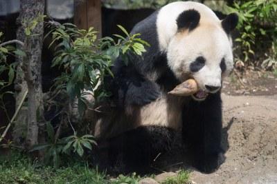 パンダのリーリー