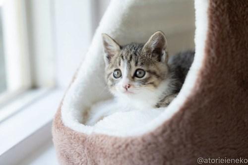 アトリエイエネコ Cat Photographer 39816154360_4eeb523e5b 1日1猫!高槻ねこのおうち_こちらもキュートな女の子♪ 1日1猫!  高槻ねこのおうち 里親様募集中 猫写真 猫 子猫 大阪 初心者 写真 保護猫 スマホ キジ猫 カメラ Kitten Cute cat