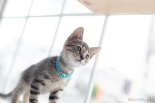 アトリエイエネコ Cat Photographer 43226533382_b8a532e5da 1日1猫!高槻ねこのおうち 里親様募集中のロクちゃん♪ 1日1猫!  高槻ねこのおうち 里親様募集中 猫写真 猫カフェ 猫 子猫 大阪 初心者 写真 保護猫カフェ 保護猫 スマホ キジ猫 Kitten Cute cat