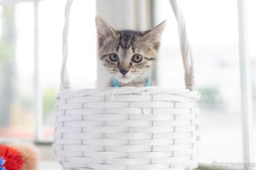 アトリエイエネコ Cat Photographer 43226519932_6d138ced4d 1日1猫!高槻ねこのおうち 里親様募集中のロクちゃん♪ 1日1猫!  高槻ねこのおうち 里親様募集中 猫写真 猫カフェ 猫 子猫 大阪 初心者 写真 保護猫カフェ 保護猫 スマホ キジ猫 Kitten Cute cat