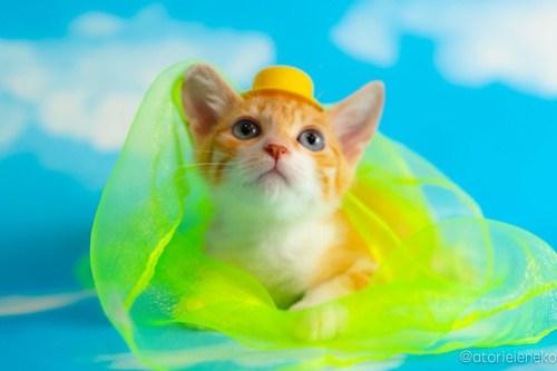 アトリエイエネコ Cat Photographer 42344334405_a844d85668 1日1猫!おおさかねこ俱楽部 里親様募集中のジローくん♪ 1日1猫!  里親様募集中 里親募集 猫写真 猫カフェ 猫 子猫 大阪 初心者 写真 保護猫カフェ 保護猫 ニャンとぴあ おおさかねこ倶楽部 Kitten Cute cat