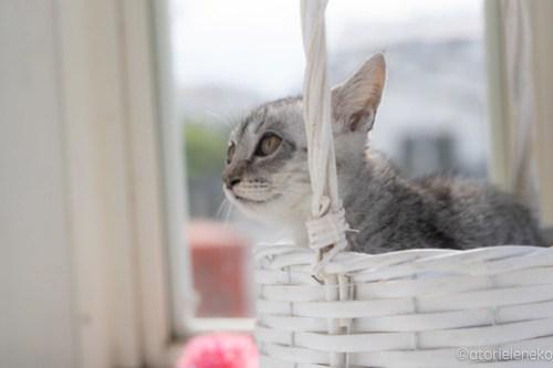 アトリエイエネコ Cat Photographer 29405804888_d9102a65f1 1日1猫!高槻ねこのおうち 里親様募集中のガラシャちゃん♪ 1日1猫!  高槻ねこのおうち 里親様募集中 猫写真 猫カフェ 猫 子猫 大阪 初心者 写真 保護猫 スマホ キジ猫 カメラ Kitten Cute cat