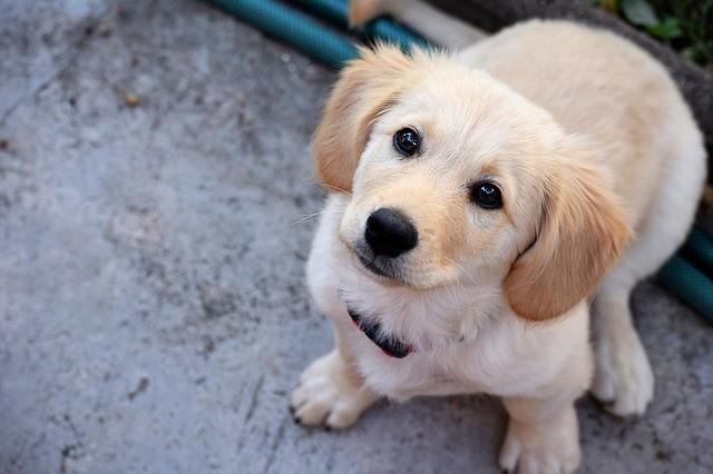 1歳までの子犬の時期にしつけをきちんとできた犬