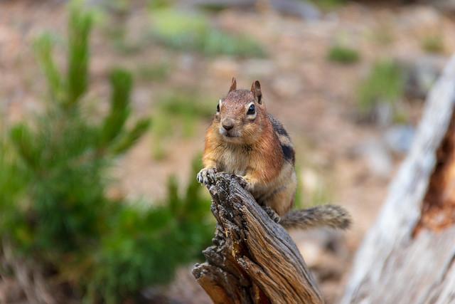 Chipmunk Posing