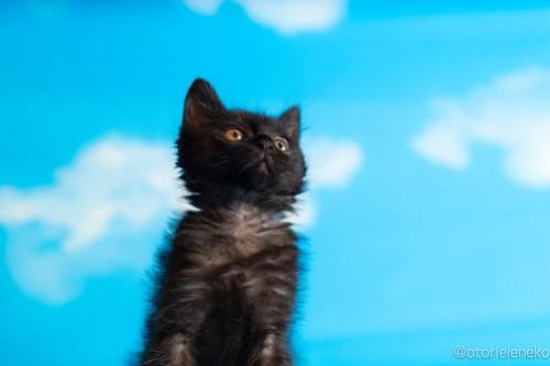 アトリエイエネコ Cat Photographer 43248316291_71260c80cb 1日1猫!ニャンとぴあ セシルちゃんトライアルへ旅立ちました♪ 1日1猫!  黒猫 里親様募集中 猫写真 猫カフェ 猫 子猫 大阪 初心者 写真 保護猫カフェ 保護猫 ニャンとぴあ スマホ おおさかねこ倶楽部 Kitten Cute cat