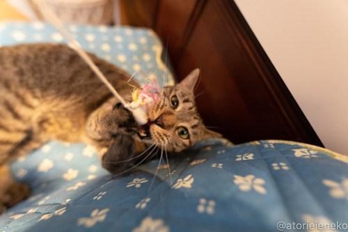 アトリエイエネコ Cat Photographer 27742422968_71160695a4 小さな猫カフェペルちゃん