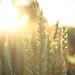 coucher de soleil sur un champ de blé