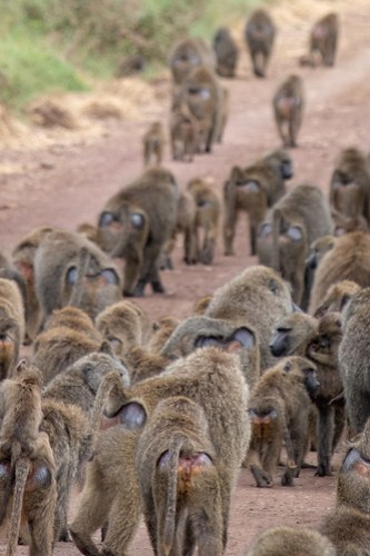 Departure of the baboons
