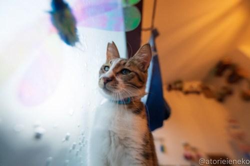 アトリエイエネコ Cat Photographer 43855063511_9031d7149e 1日1猫!保護猫カフェウリエルへ行ってきた(2/2)♪ 1日1猫!  里親様募集中 猫写真 猫カフェ 猫 子猫 大阪 初心者 写真 保護猫カフェウリエル 保護猫カフェ 保護猫 中崎町 スマホ カメラ ウリエル Kitten Cute cat