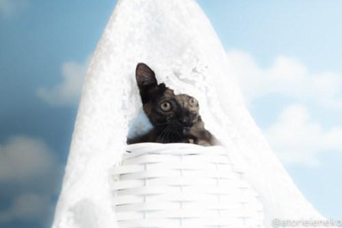 アトリエイエネコ Cat Photographer 43803586552_87bcc9915a 1日1猫!おおさかねこ俱楽部 里活中のミチルちゃんです♪ 1日1猫!  里親様募集中 猫写真 猫カフェ 猫 子猫 大阪 写真 保護猫カフェ 保護猫 ニャンとぴあ サビ猫 カメラ おおさかねこ倶楽部 Kitten Cute cat