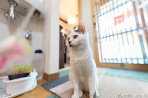 アトリエイエネコ Cat Photographer 27742417518_4ddcc77409 1日1猫!小さな猫カフェ「ペルちゃん」に行ってきた その3♪ 1日1猫!  里親様募集中 猫写真 猫 守口市 子猫 大阪 写真 保護猫カフェ 保護猫 ペルちゃん スマホ Kitten Cute cat