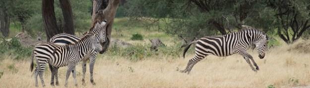 Energetic zebra