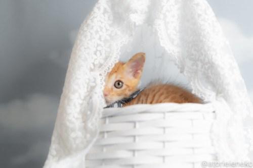 アトリエイエネコ Cat Photographer 43134374514_06b90c7558 1日1猫!おおさかねこ俱楽部 里活中のナオトくんです♪ 1日1猫!  里親様募集中 茶トラ 猫写真 猫カフェ 猫 子猫 大阪 初心者 写真 保護猫カフェ 保護猫 ニャンとぴあ スマホ カメラ おおさかねこ倶楽部 Kitten Cute cat